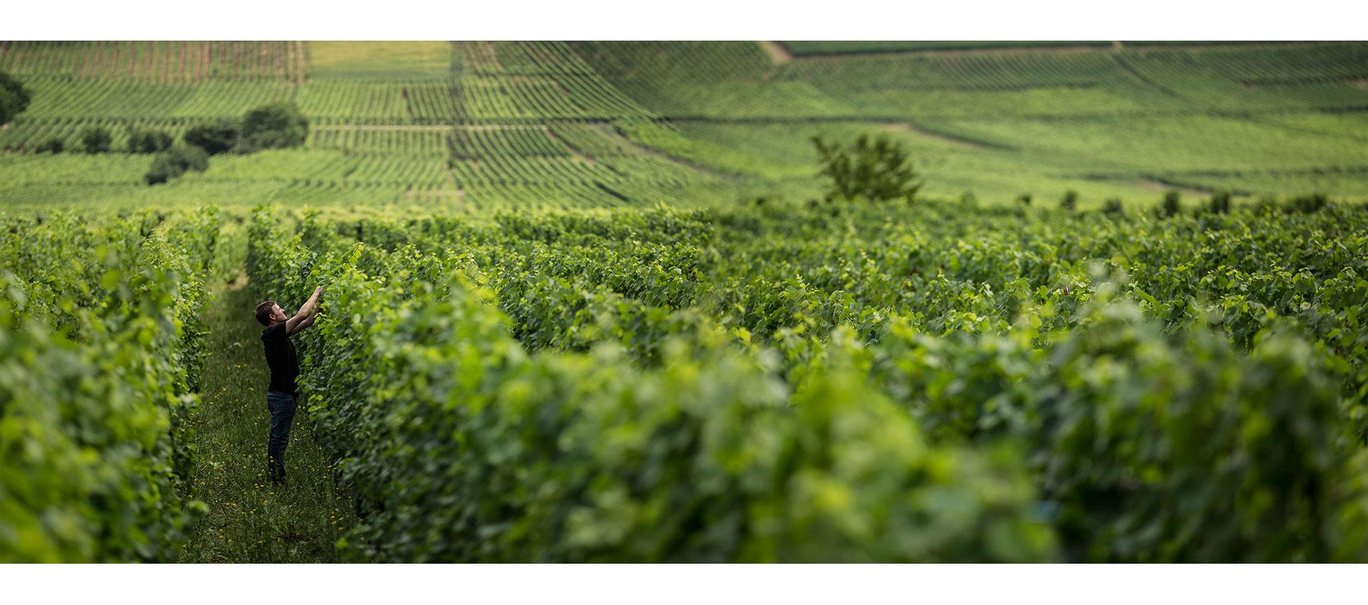 Vignobles en Alsace
