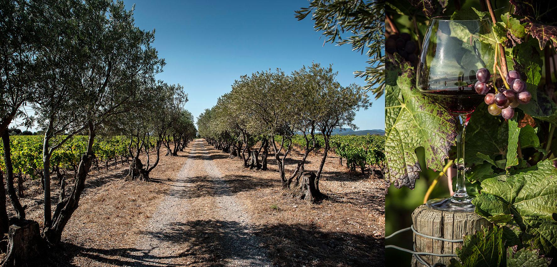 Vignes plateau du Larzac