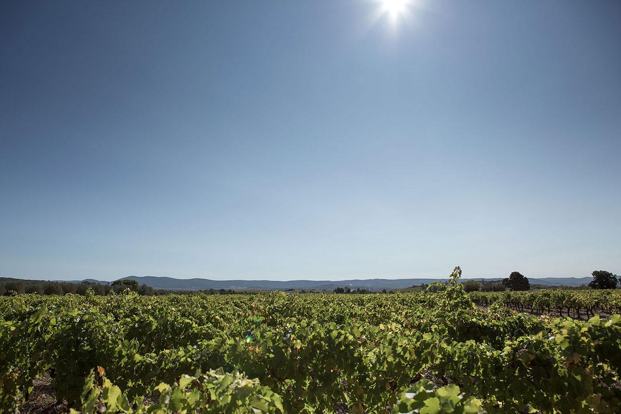 Vignes plateau du Larzac en Languedoc